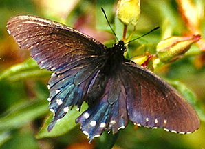 2014-03-31: Pipevine Swallowtails